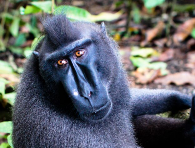 Sulawesi_crested_macaque-624x473